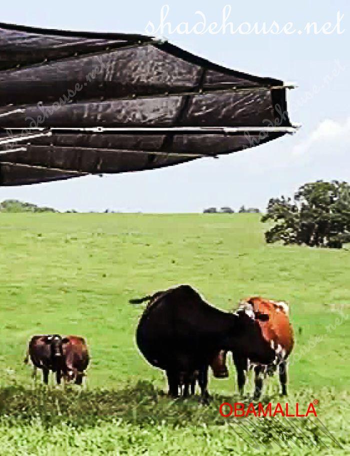cows under to the raschel mesh obamalla.